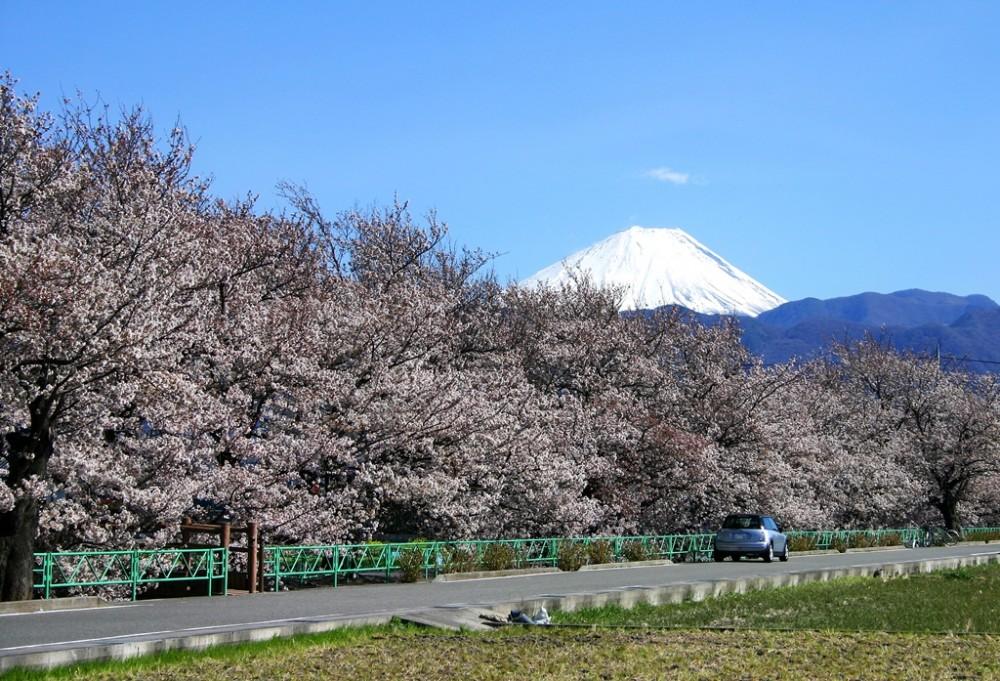 昭和町の桜